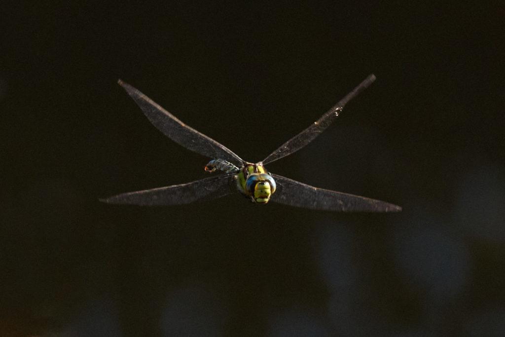 Libelle8